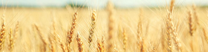 Wheat CFD Trading - Trade Soft Commodities at Friedberg Direct